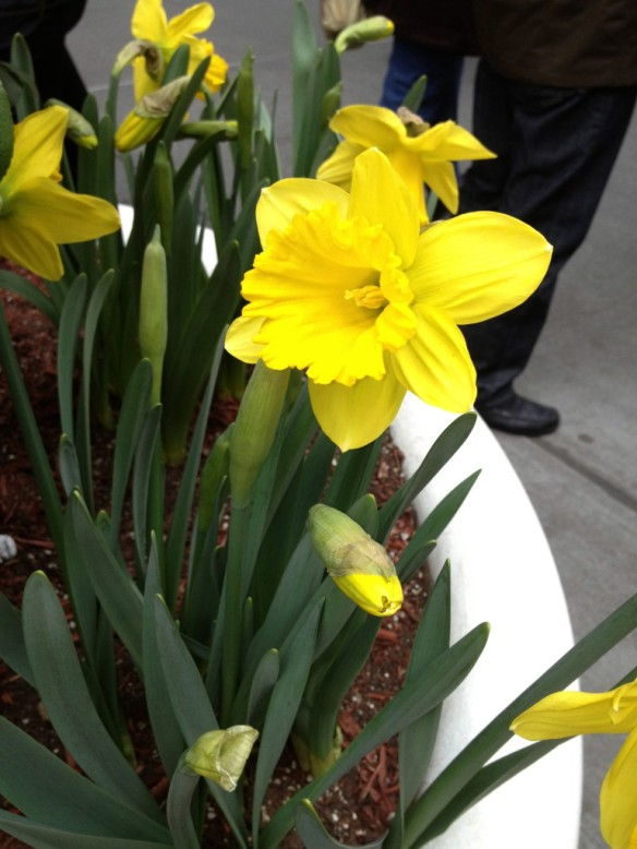 Easter Day Daffodils on Fifth Avenue!